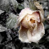 Frozen Rose by Ruumisauto