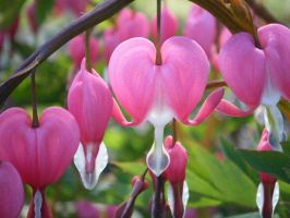 Springs Bleeding Hearts by absense-of-color