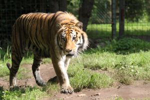 tiger by stee-fun
