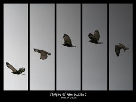 Flyight of the Buzzard by pilgrimx