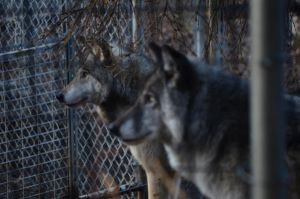 Wolves at the zoo by Caldonianogre