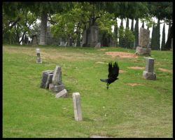 Cemetary Crow by shelly349