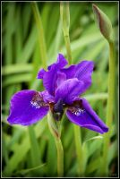 The Iris by Haywood-Photography