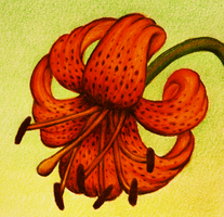 Tiger Lily by PMucks