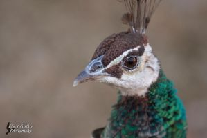 Peahen 2 by EdgedFeather