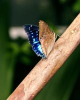 Blue-spotted Charaxes by TheSleepyRabbit