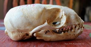 California Sea Lion Skull by lupagreenwolf