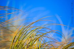 Beach Grass 4 by MaxK-W