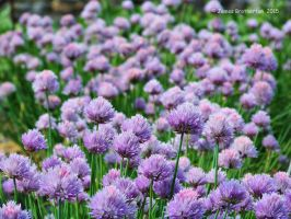 Chives by jim88bro