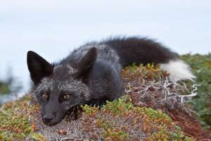 Young Black Fox in the Wild 10 by Witch-Dr-Tim