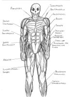 Human muscular system sketch by IronRebel