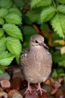 Young Morning Dove by kschneider
