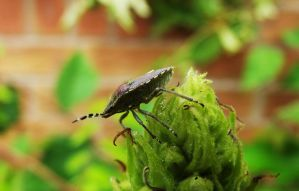 Juvenile Shield Bug by graphic-rusty