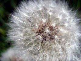 Dandelion by Holly6669666