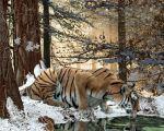 Winter - Chapter 1 Tigers by FantasyLost