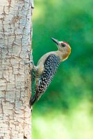 Hoffmans woodpecker by SkylightPhtgrphy