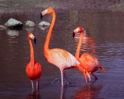 Perfect Flamingos by PascalsPhotography