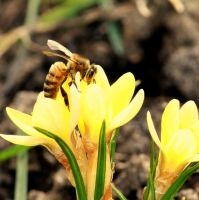 Yellow Crocus and Bee by Foxytocin