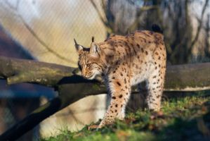 Lynx by Fotostyle-Schindler