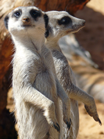 Meerkat duo by PandaTJ