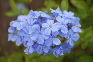 Plumbago blossoms by Fail-Avenger