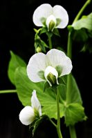 Pea Flowers by Mend30012