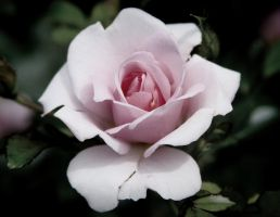 pink rose print by BrentFennellPhoto