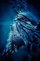 Lionfish by JimP4nsen