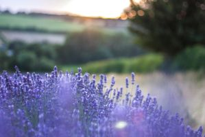 Lavender Fields by ninaheather