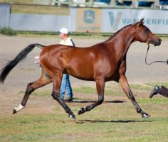 TW Arab Bay all legs off ground trot side plaited by Chunga-Stock