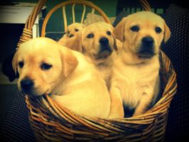 Gloden Lab Puppies by mariahsstorm