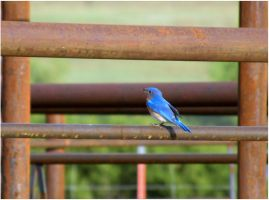 Bluebird on the Chute by SuicideBySafetyPin