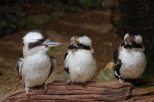 Kookaburra Stock by Chunga-Stock