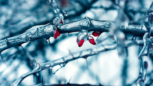 Frozen Berberis by Mnemonic-Nexus