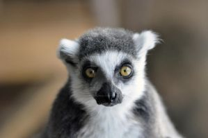 Ring Tailed Lemur.1. by HecklingHyena