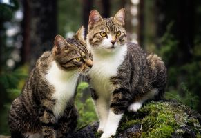 Finnish Forestcats by JoniNiemela