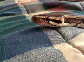 An in-focus python by Finglonger