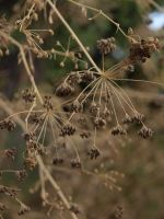 Parsley Seeds by HempHat