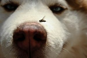 Canine Vs. House Fly by libertinex