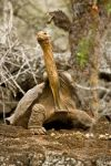 Giant Tortoise 1 in Galapagos by AaronPlotkinPhoto