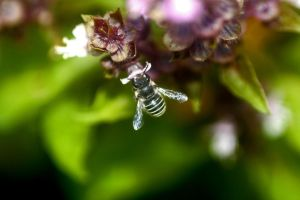 Bee in Basil by foquinha156