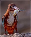 Whitethroated kingfisher by AMROU-A