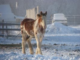 Clydesdale Yearlings 10 by okbrightstar-stock