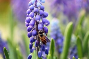 Bee discovering Hyacinth by johnchan