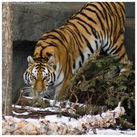 Amur Tiger 037 by ShineOverShadow
