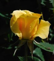 Yellow Rose by photoquilter
