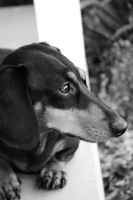 Black and White Dachshund by missmissymarissa
