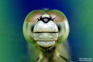 Dragonfly by basticelis