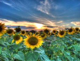 Sunflower Sundown HDR by gogo100878