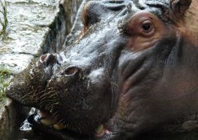 a hippo from barcelona by tibbet2000